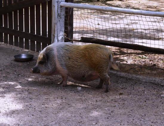¿Sabías que los cerdos vietnamitas pueden vivir de 15 a 20 años? Además, pueden llegar a pesar hasta 65 kilogramos.