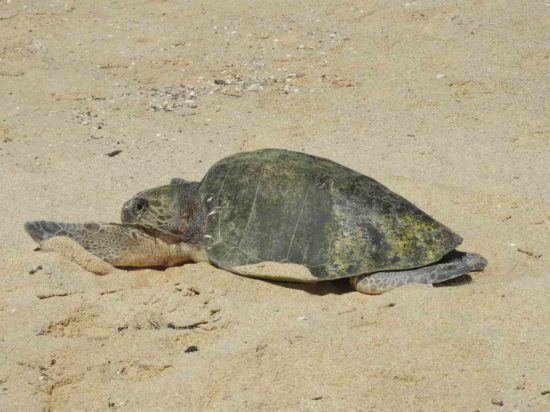 Baby-Sea-Turtles-Hatching-in-Los-Cabos
