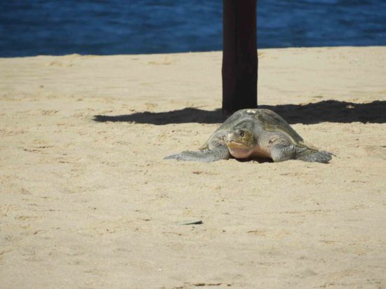 Sandos-Finisterra--The-best-hotel-to-see-baby-turtles-