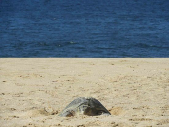 Sea-Turtle-Protection-in-Los-Cabos-