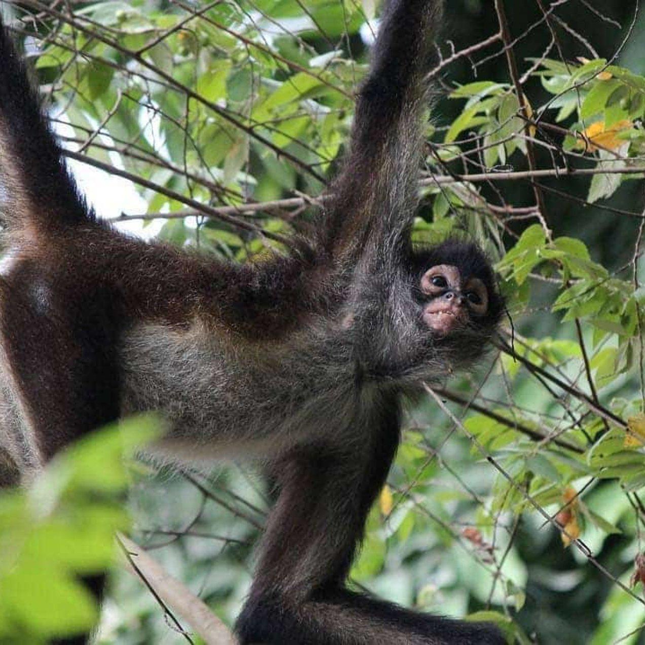 Spider Monkeys in the Riviera Maya