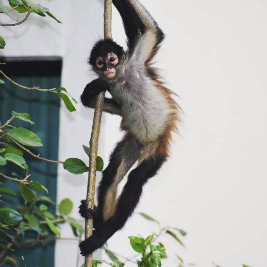 Spider monkey climbing