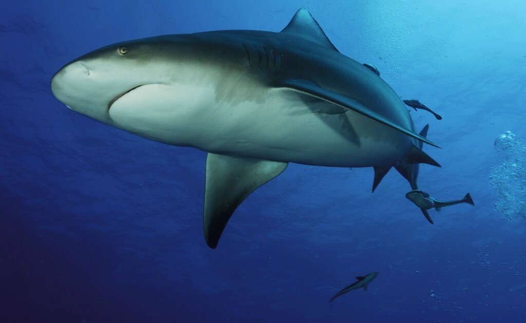 Playa del Carmen's Bull Shark Dives