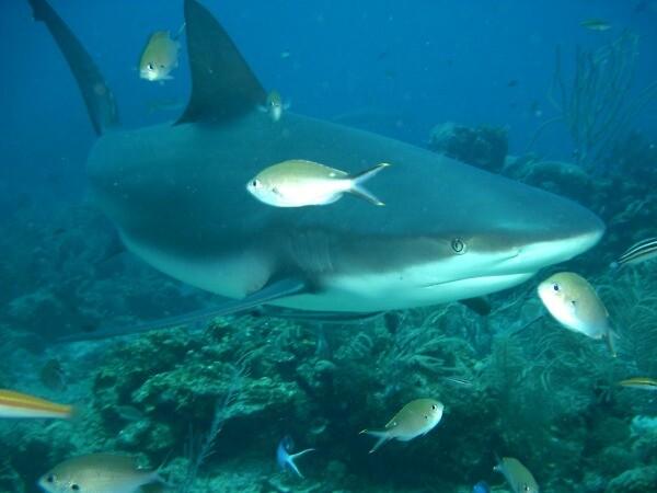Tiburón toro en Cabo San Lucas