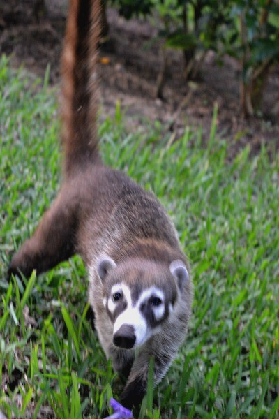Coati at Mexico resort