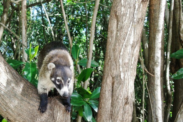 Wildlife in Mexico: Did You Know Coatis Have 10 Names? - Sandos