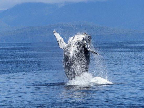 Avistamiento de Ballenas en Los Cabos