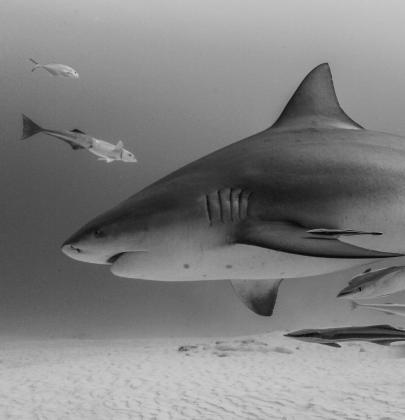 Bull shark diving in Playa del Carmen, Mexico