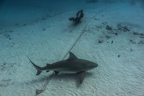 bucear con tiburón toro