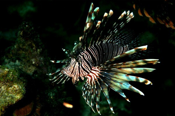 Lionfish in the reef
