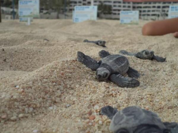 Los Cabos baby sea turtle release