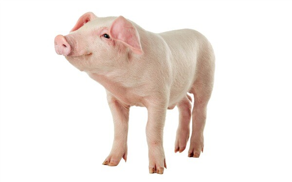 Pig intelligent animal