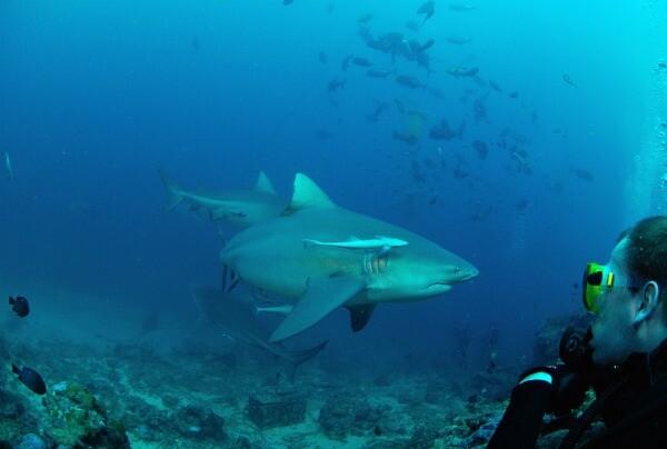buceo con tiburón toro en Playa del Carmen