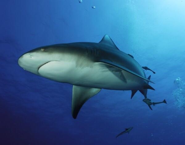 Riviera Maya tiburón toro