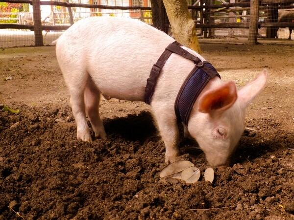 Cerdo de rescate en la Riviera Maya