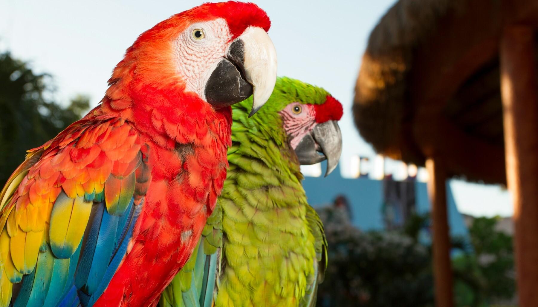 Riviera Maya resort macaws