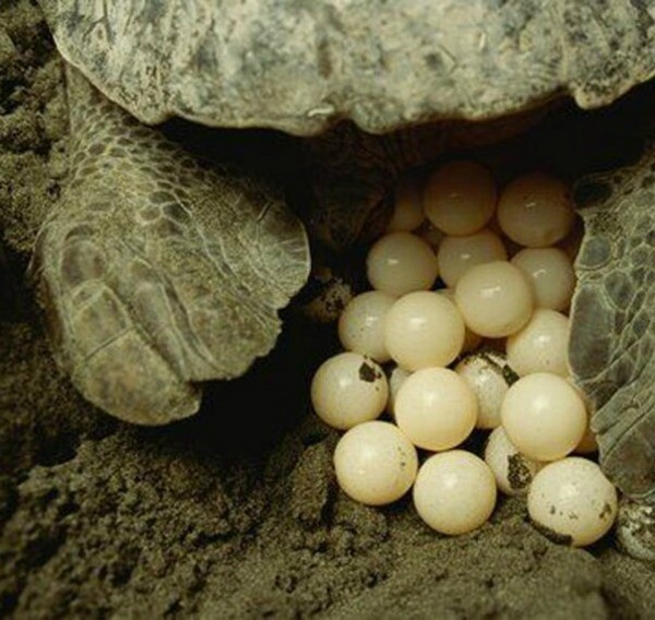 Riviera Maya sea turtle eggs