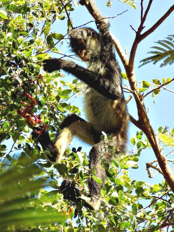 Riviera Maya mono araña