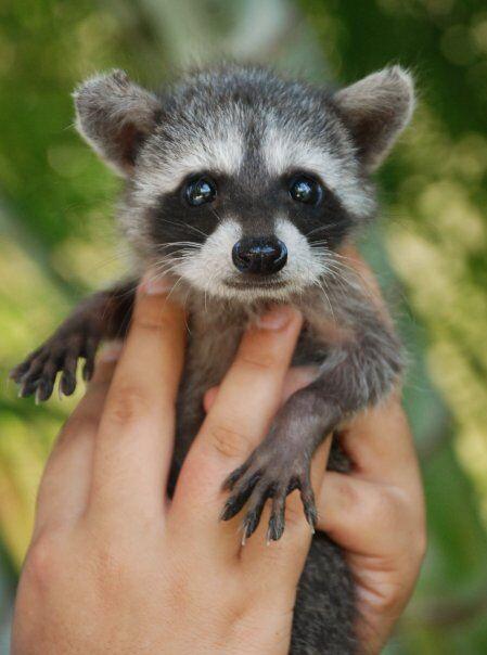 Cute baby racoon