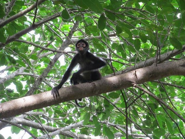 spider monkey perched on branch