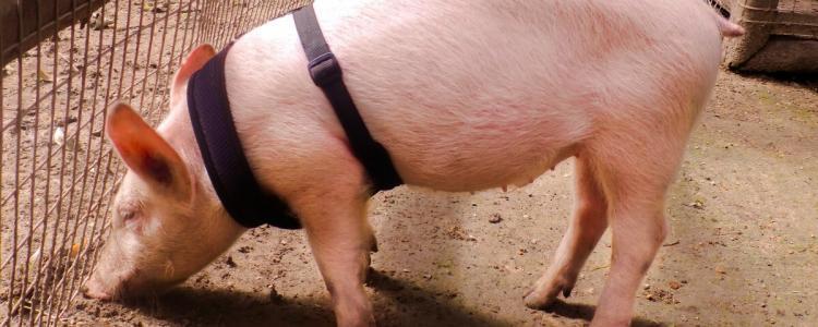 Sandos Caracol rescue pig