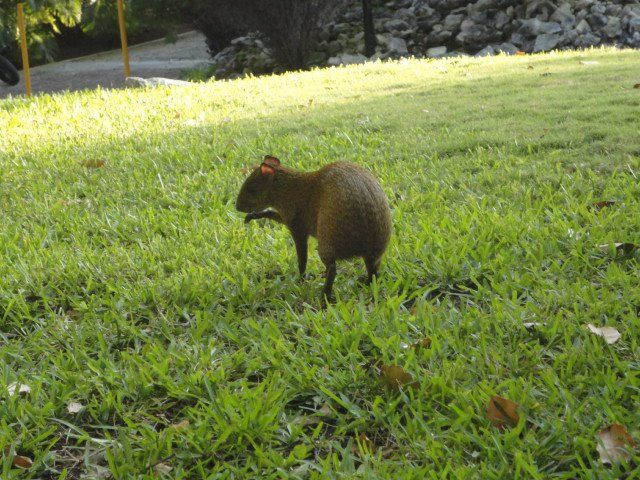 Sandos Playacar Beach Resort Riviera Maya animals agouti