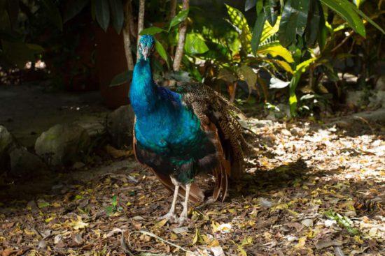 Yucatan Peacock