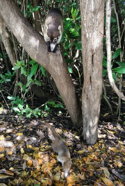 Two coatis in the mangrove