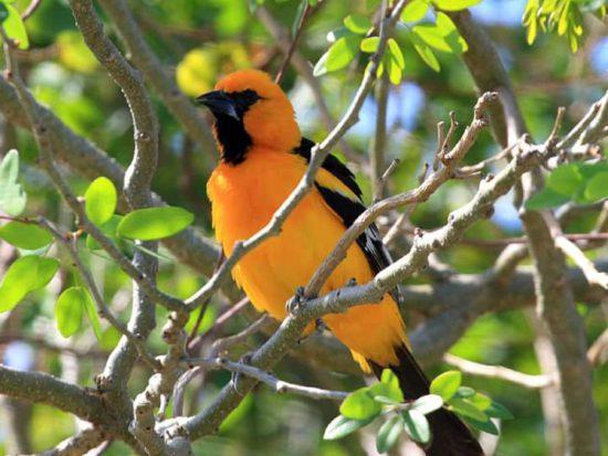 Endemic Orange Oriole