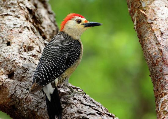yucatan woodpecker