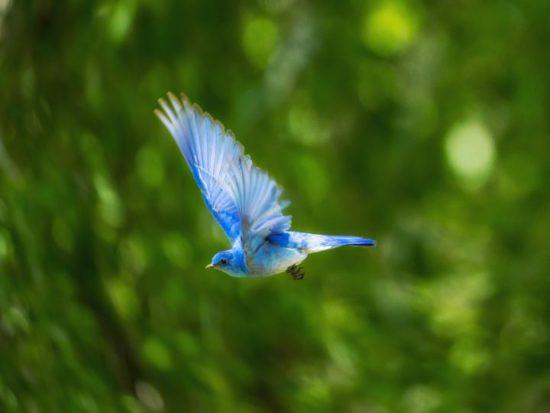 Indigo Bunting - birds cancun