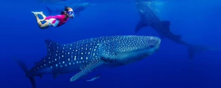 cancun whale shark tour
