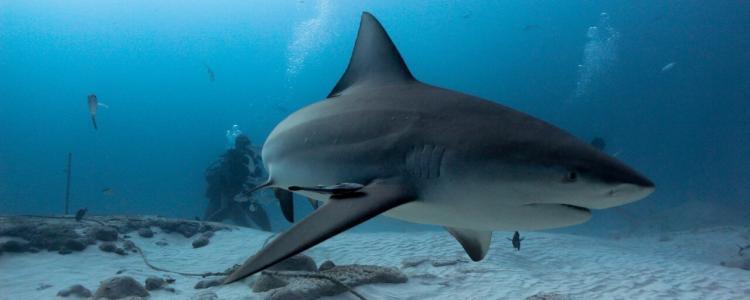 tiburon toro playa del carmen
