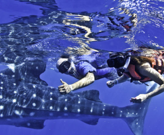 Whale Sharks in the Riviera Maya